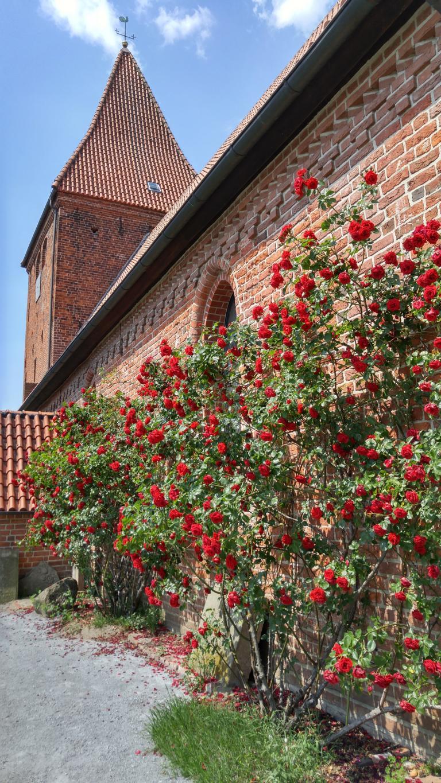 Die Rosenblüte an der Kirche